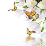 与绿草的白色郁金香 免版税库存图片