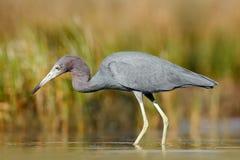 与水草的苍鹭 小的蓝色苍鹭,白鹭属caerulea,在水中,墨西哥 鸟在美丽的绿河水中 Wildli 库存图片