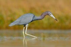 与水草的苍鹭 小的蓝色苍鹭,白鹭属caerulea,在水中,墨西哥 鸟在美丽的绿河水中 Wildli 免版税图库摄影
