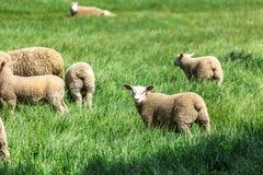 与绿草的绵羊在新西兰 免版税图库摄影