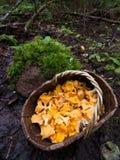 与黄蘑菇的篮子在森林沼地采蘑菇 免版税库存图片