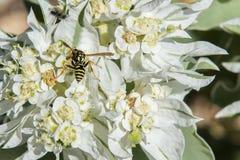 与黄蜂的雪在这山 库存照片