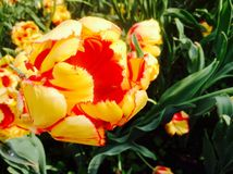 与黄蜂的黄色红色郁金香 库存照片