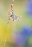 与蝴蝶共同的蓝色Polyommatus艾卡罗计的美好的自然场面 图库摄影