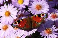与蝴蝶孔雀的紫罗兰色花翠菊Alpinus,捷克共和国,欧洲 库存图片
