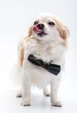 与黑蝶形领结的逗人喜爱的奇瓦瓦狗狗 免版税图库摄影