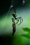 与蝴蝶快餐的泰国天体织布工蜘蛛 图库摄影