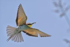 与蝴蝶的一次食蜂鸟鸟飞行 图库摄影
