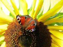 与蝴蝶的向日葵 免版税库存图片