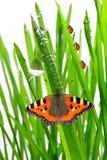 与蝴蝶的新鲜的早晨露水 免版税库存图片