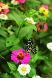与蝴蝶的桃红色百日菊属 免版税库存照片