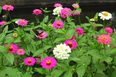 与蝴蝶的桃红色百日菊属 库存照片
