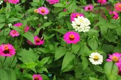 与蝴蝶的桃红色百日菊属 免版税库存图片