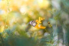 与蝴蝶的模糊的背景在波斯菊花 库存照片