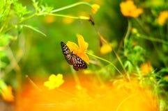与蝴蝶的模糊的背景在波斯菊花 库存图片
