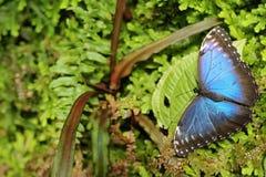 与蝴蝶的深绿植被 热带自然在哥斯达黎加 蓝色蝴蝶, Morpho peleides,坐绿色叶子 大b 图库摄影