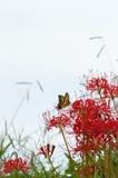 与蝴蝶的红蜘蛛百合 免版税库存图片
