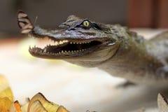 与蝴蝶的被充塞的鳄鱼 免版税库存照片