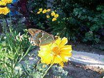 与蝴蝶的黄色花 库存照片