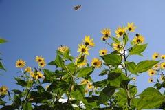 与蝴蝶的黄色菊花花 免版税库存照片