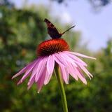 与蝴蝶的Coneflower 免版税库存图片