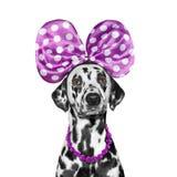 与蝴蝶结和项链的逗人喜爱的俏丽的狗 库存图片