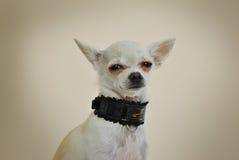 与黑衣领的奇瓦瓦狗 免版税库存照片