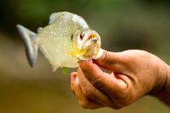 与他被开放的强有力的下颌的比拉鱼鱼 免版税库存照片
