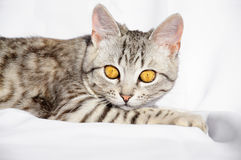 与说谎在地板上的大眼睛的美丽的灰色猫 图库摄影