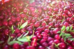 与说谎在太阳下的叶子的很多红色樱桃莓果 美好的背景 免版税库存照片