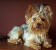 与结辨的马尾辫的约克夏狗在顶头说谎 方形庄稼 库存照片