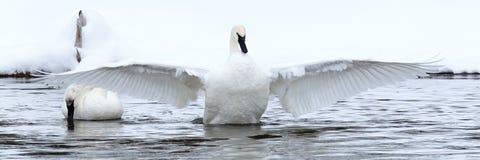 与延长的翼的天鹅 免版税库存照片