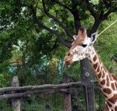 与延长的舌头的长颈鹿 库存图片