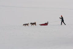 与滑雪者的阿拉斯加的爱斯基摩狗 Pulka学科 库存图片