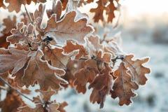 与结霜的叶子的橡树分支 库存照片