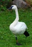 与黑额嘴的鹅 免版税图库摄影