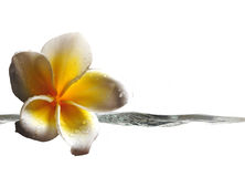 与水飞溅的热带花  免版税库存图片