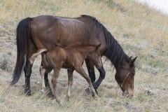 与年轻马驹的野生母马 免版税库存图片