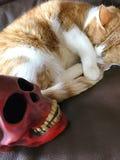 与头骨的橙色和白色猫 库存照片