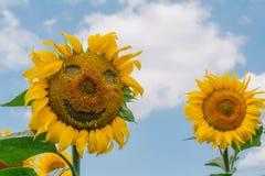 与兴高采烈的面孔的向日葵在蓝天 库存图片