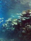 与绯鲵鲣和坚硬珊瑚浅滩的珊瑚礁在热带海底部  免版税库存图片