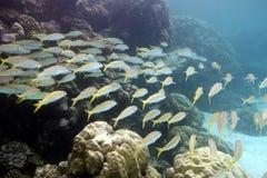 与绯鲵鲣和坚硬珊瑚浅滩的珊瑚礁在热带海底部  库存照片