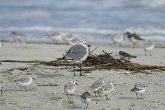 与水鸟的笑的鸥 免版税库存图片