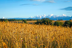 与黑麦的成熟耳朵的巨大农村领域在日落的 库存图片