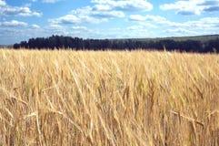与黑麦的领域的农村风景夏日和绿色森林的 库存图片