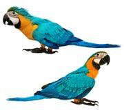 与年龄的公蓝色和黄色金刚鹦鹉鹦鹉4个和3个月 库存照片