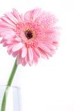 与水滴,浪漫和fre的甜桃红色大丁草花 免版税库存照片