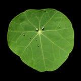 与水滴的旱金莲属植物叶子 免版税库存图片
