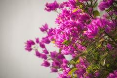 与类B的几个灌木或藤的紫色九重葛 免版税图库摄影