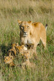 与4崽的雌狮 免版税库存图片